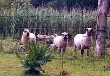 møllestedets får i mosen